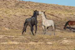 Жеребцы дикой лошади воюя в пустыне Стоковые Изображения RF