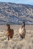 Жеребцы дикой лошади в пустыне Юты Стоковая Фотография