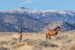 Жеребцы дикой лошади в пустыне Юты Стоковые Фото