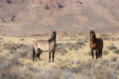 Жеребцы дикой лошади в пустыне Стоковые Изображения