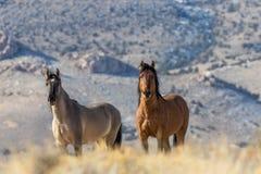 Жеребцы дикой лошади в пустыне Стоковое Изображение