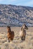 Жеребцы дикой лошади в пустыне Стоковое Фото