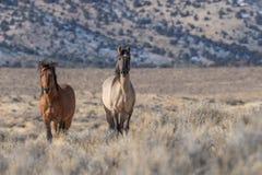 Жеребцы дикой лошади в пустыне Стоковые Изображения RF