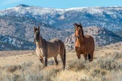 Жеребцы дикой лошади стоя в пустыне Стоковые Фотографии RF