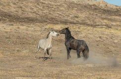 Жеребцы дикой лошади Sparring в пустыне Юты Стоковое Изображение
