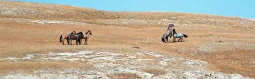 Жеребцы дикой лошади воюя в горах Pryor Вайоминга - Монтаны Стоковое Фото