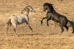 жеребцы лошади бой одичалые Стоковые Изображения