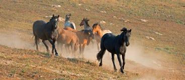 Жеребцы мустанга дикой лошади бежать и воюя в ряде дикой лошади гор Pryor на границе Вайоминга и Монтаны США Стоковая Фотография