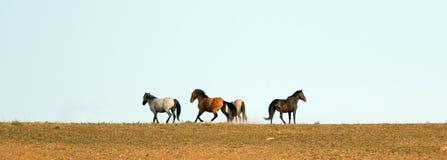 Жеребцы мустанга дикой лошади бежать и воюя в ряде дикой лошади гор Pryor на границе Вайоминга и Монтаны США Стоковые Фото