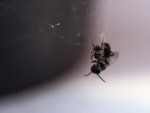 Жертвы сетей паука Стоковые Фотографии RF