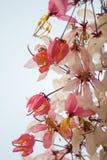 Желающ дерево, украсьте дырочками кассию Bakeriana Craib Showe Стоковое Изображение RF