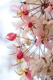 Желающ дерево, украсьте дырочками Showe, кассию Bakeriana Craib Стоковые Изображения RF