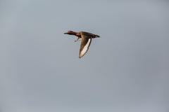 Железистая утка Стоковые Изображения RF