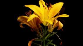 Желтая азиатская лилия вянуть Timelapse сток-видео