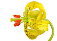 Желтая азиатская лилия при слепые пятна изолированные на белизне Стоковое фото RF
