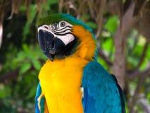 Желтая ара Стоковое Изображение