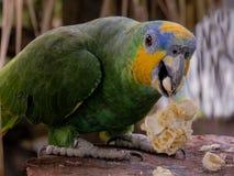 Желтая ара стоковое изображение rf