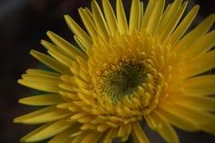 Желтая астра Стоковые Фотографии RF