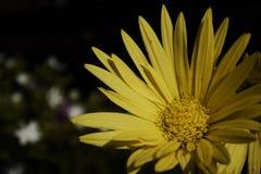 Желтая астра Стоковые Фото