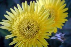 Желтая астра Стоковое Изображение