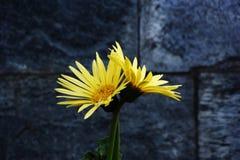 Желтая астра Стоковое Фото