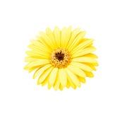 Желтая африканская изолированная маргаритка Стоковое Изображение RF