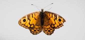 Желтая бабочка на белом backgrund стоковое фото