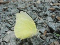 Желтая бабочка на утесах Стоковые Изображения