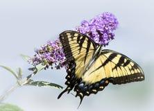 Желтая бабочка на фиолетовом изолированном цветке Стоковые Фотографии RF