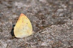 Желтая бабочка серы в покое на скалистой земле Стоковая Фотография