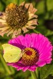 Желтая бабочка сидит на розовом цветени Стоковая Фотография
