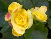 Желтая бегония цветет конец-вверх стоковое изображение rf