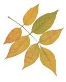 Желтая ветвь золы изолированная над белизной Стоковое фото RF