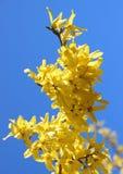 Желтая ветвь цветка веника в весеннем времени с голубым небом Стоковая Фотография RF