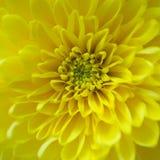 Желтая гвоздика Стоковые Изображения