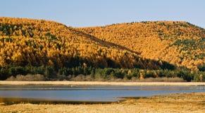 Желтая гора лиственницы Стоковое фото RF