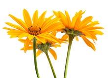 Желтая головка цветка Стоковое Изображение RF