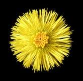 Желтая головка цветка Стоковая Фотография RF