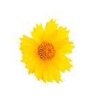 Желтая головка цветка Стоковые Изображения RF