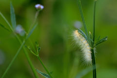 Желтая гусеница Стоковая Фотография
