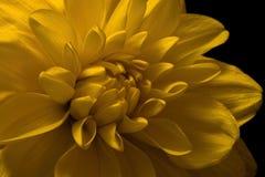 Желтая деталь георгина Стоковое Изображение RF