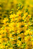 Желтая деталь цветков Стоковое Фото