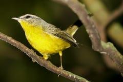 Желтая/золотая увенчанная певчая птица Бразилии Стоковая Фотография RF