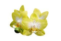 Желтая изолированная орхидея, стоковое фото