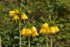 Желтая имперская крона - imperialis Fritillaria Стоковое Фото