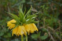 Желтая имперская крона - imperialis Fritillaria Стоковое Изображение RF