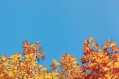Желтая листва осени перед голубым небом Стоковая Фотография