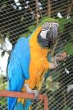 Желтая и голубая ара есть плодоовощ Стоковое Фото