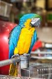 Желтая и голубая ара на рынке птицы улицы Yuen Po, Гонконге Стоковое Изображение