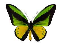 Желтая и зеленая большая изолированная бабочка Стоковое Фото